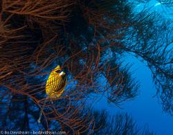 BD-090407-St-Johns-4072924-Chaetodon-fasciatus.-Forsskål.-1775-[Diagonal-butterflyfish].jpg